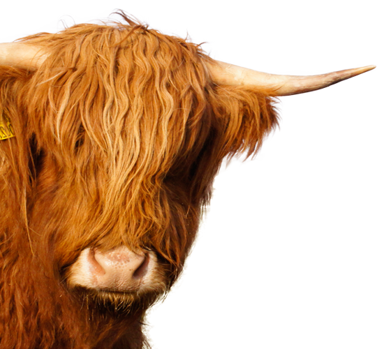 Ginger-Cow-Header-Head1