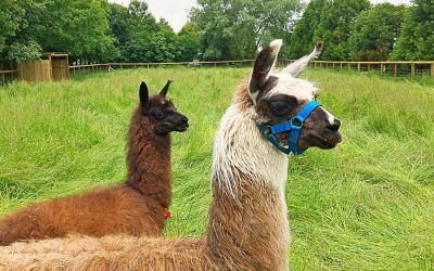 Living the Dream: Patience needed to tame the llamas