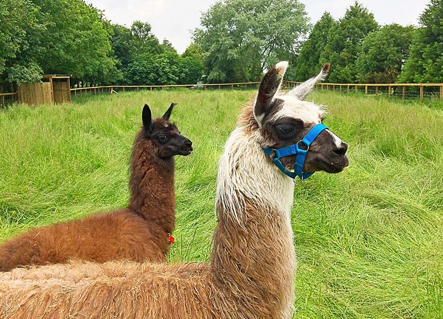 Living the Dream: Llamas getting up close and personal