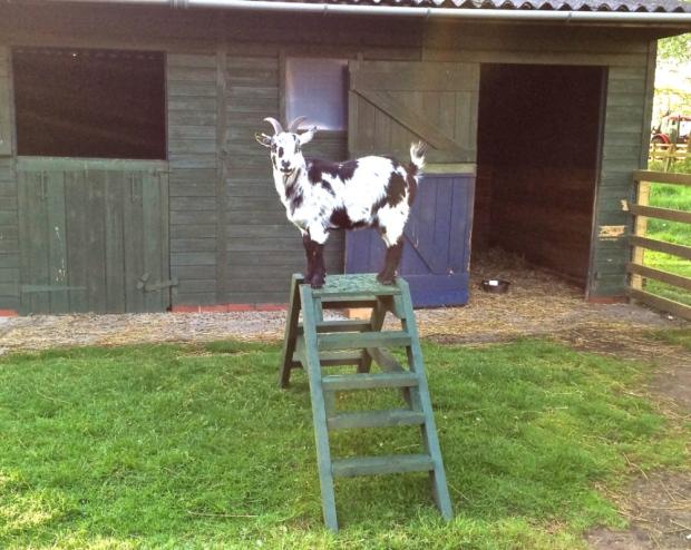 Living the Dream: Goats make bid for freedom