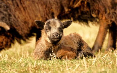 Living the Dream: My first experience of lambing
