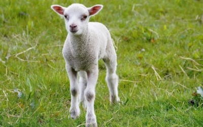 Living the Dream: Stubborn lamb gives me runaround in the rain