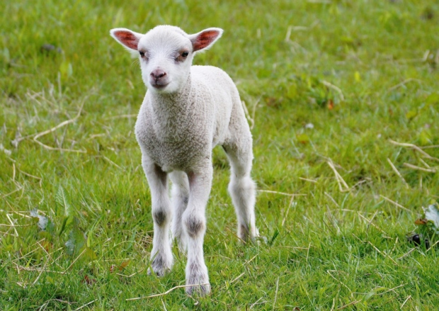 Living the Dream: Stubborn lamb gives me runaround in the rain