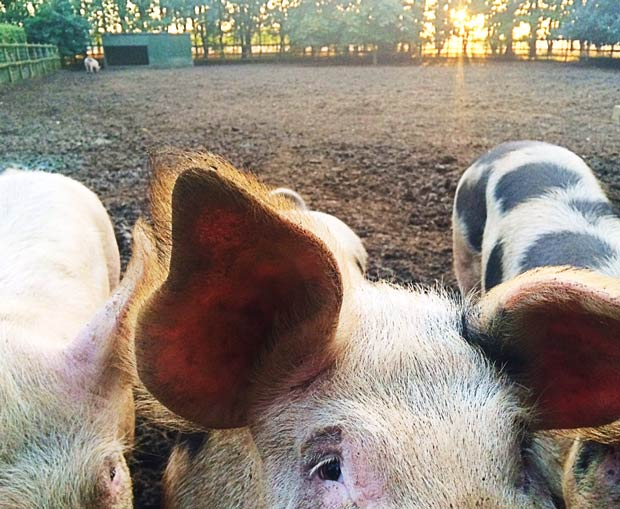 Living the Dream: Sense of foreboding before taking pigs to market