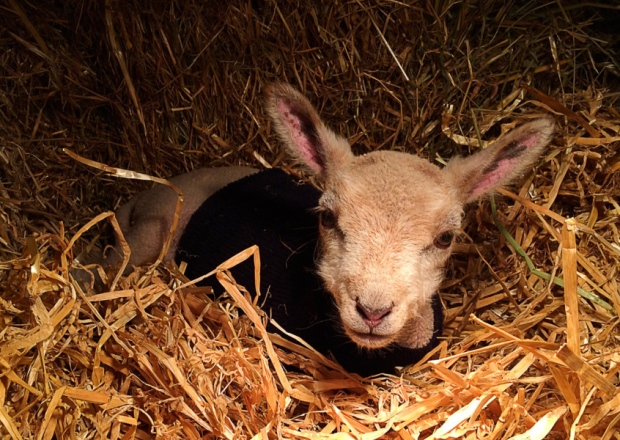 Living the Dream: Love and loss of lambing season keeps me busy