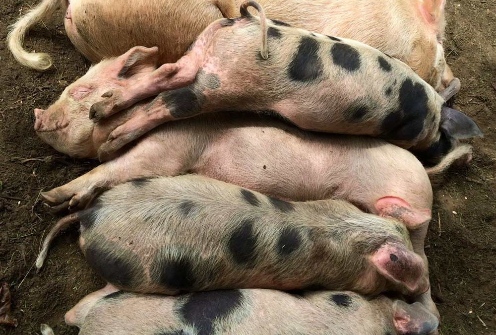 Living the Dream: Three little piggies
