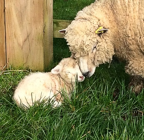 Living the Dream: Our first lamb of the year!