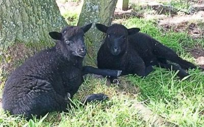 Living the Dream: Twins arrive at the end of lambing