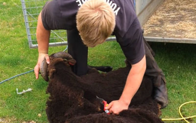 Living the Dream: Sheering time and pregnancy watch