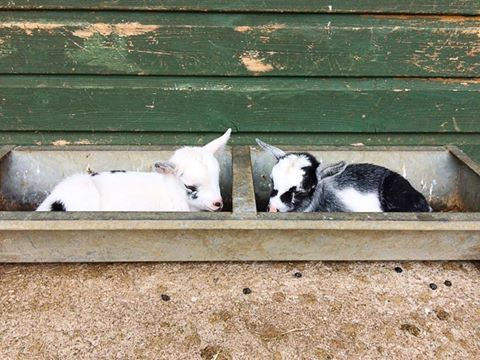 Living the Dream: New arrivals in the goat pens